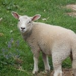 Photo of the Day: Auvergne Lamb