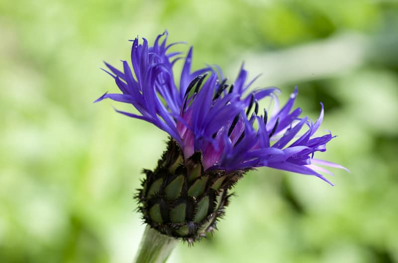Lummi-Island-Flower