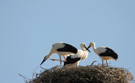 white-storks-Costa Vicentina