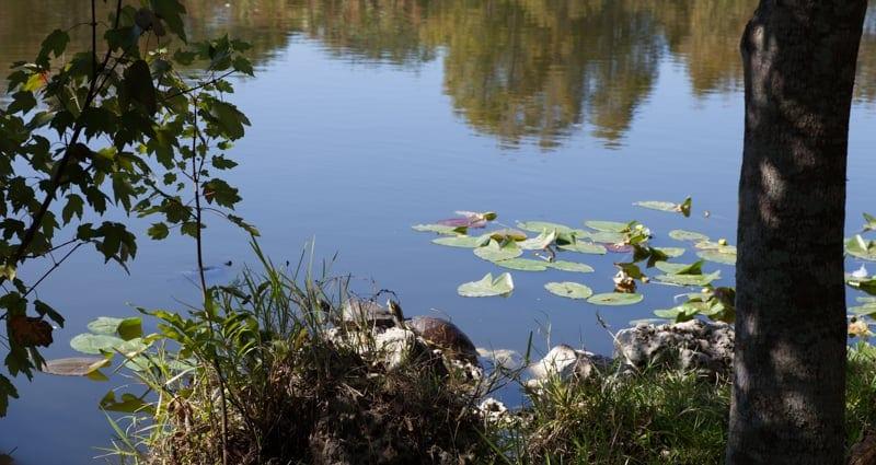 Turtles in Flamingo Gardens