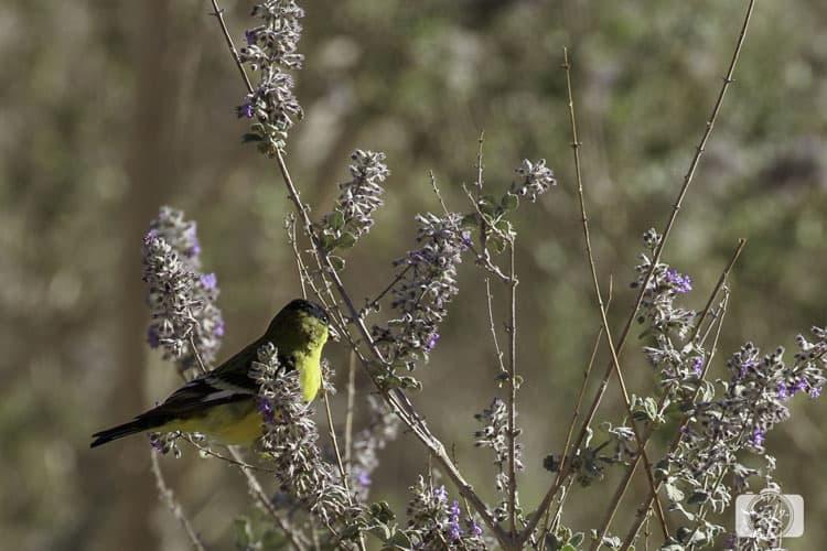 Common Yellow Frot-ANZA-BORREGO-DESERT