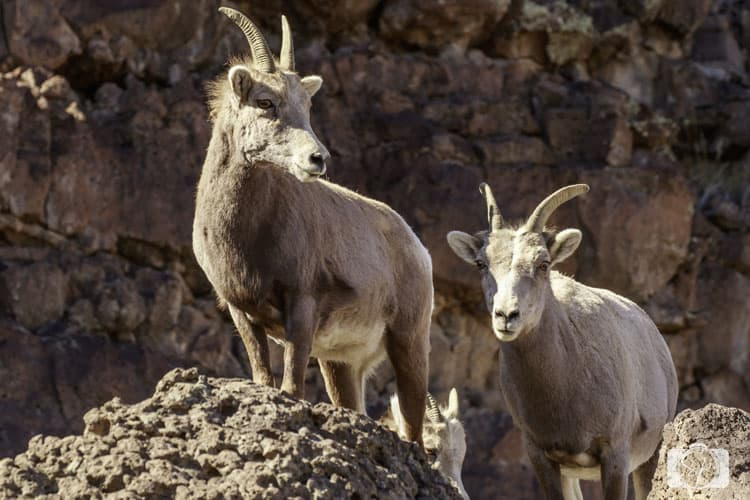NEW MEXICO-Big-Horn-Sheep