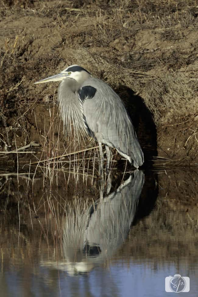 NEW MEXICO-Bosque-del-Apache-Heron