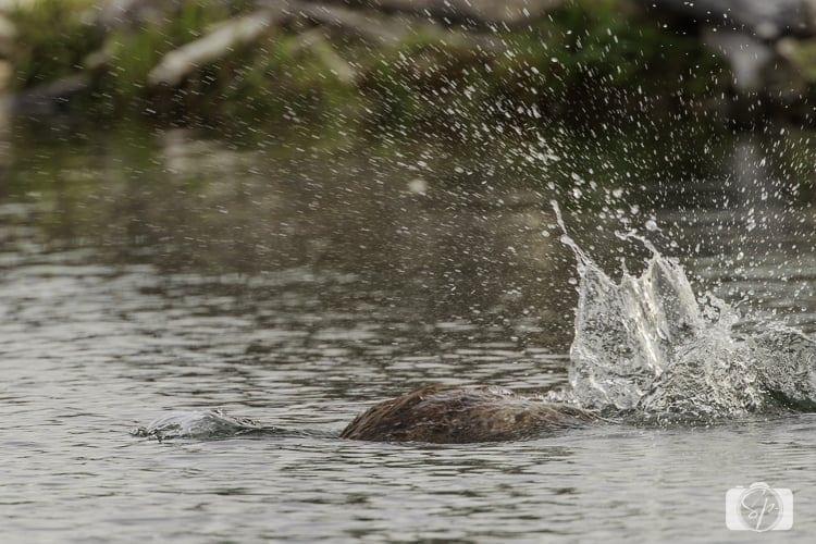 Grand Teton National Park Beaver Tail Slap