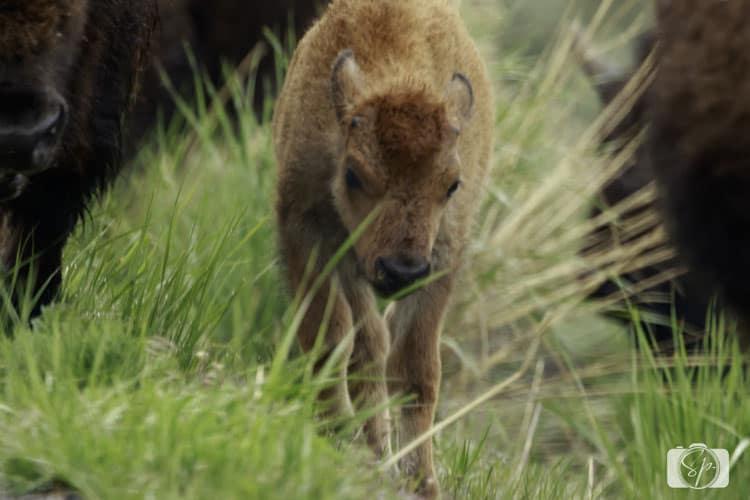 Yellowstone-National-Park-Bison-Calf-2