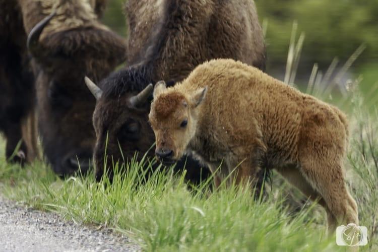 yellowstone national park bison calf