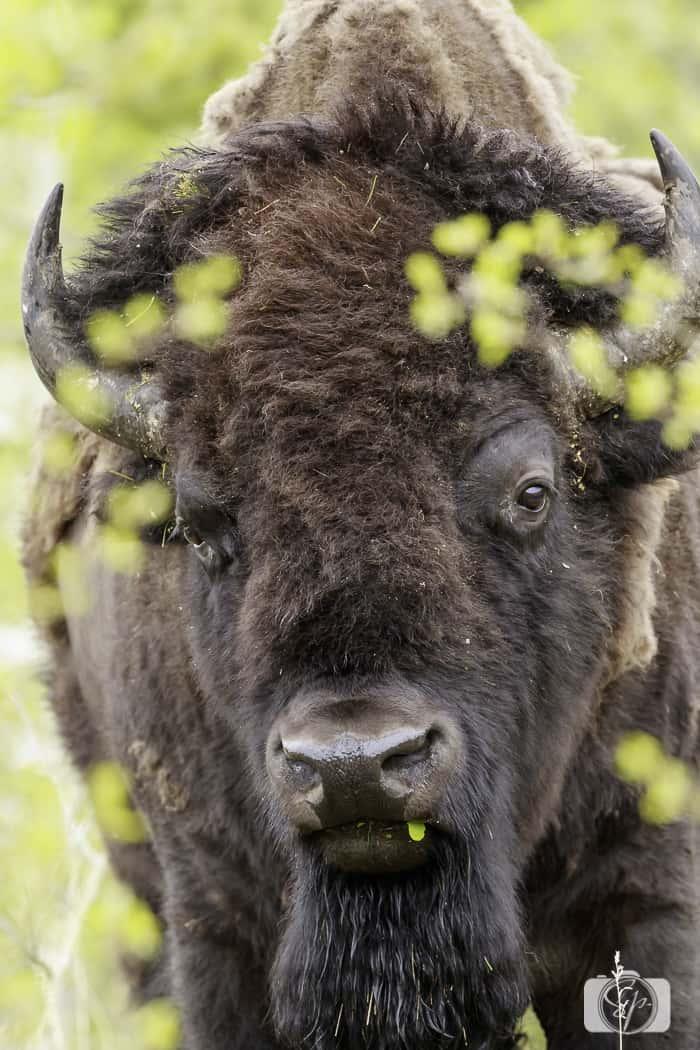 yellowstone national park bison near bear