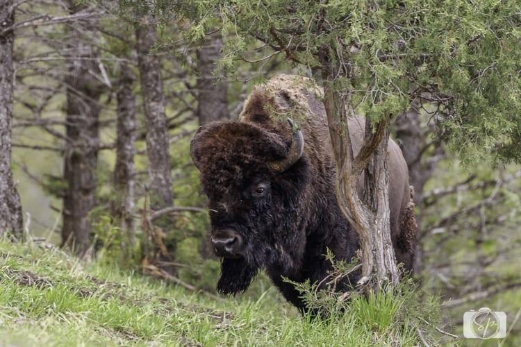 yellowstone national park bison near sheep