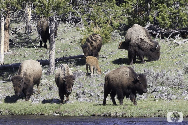 yellowstone national park bison on madison river