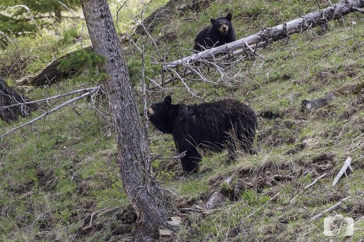 yellowstone national park black bear and cub