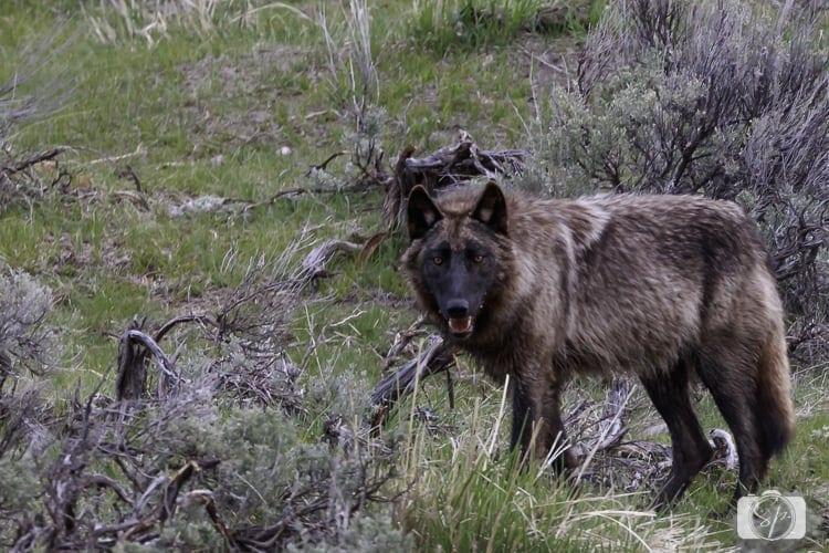 yellowstone national park black wolf