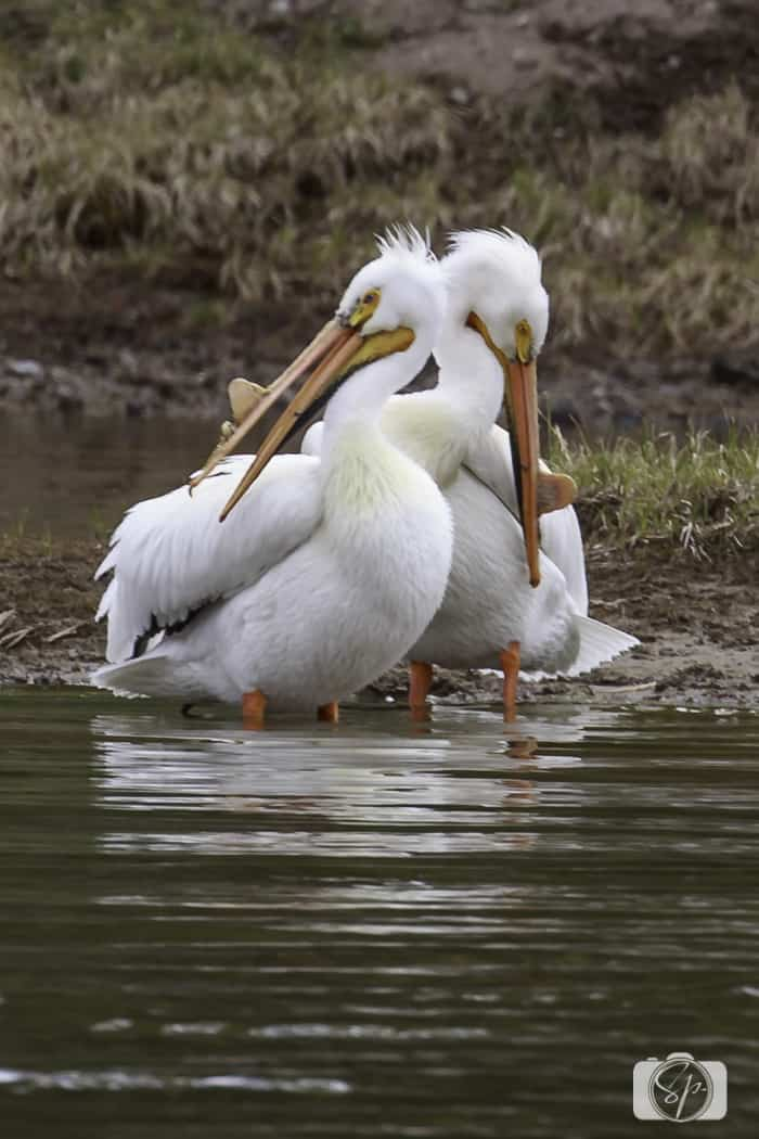 yellowstone national park white pelicans