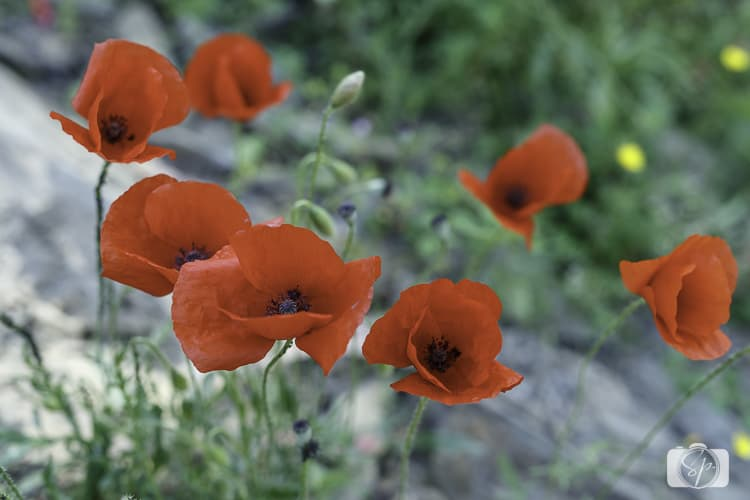 Viking River Cruises Portugal - Douro River Poppies