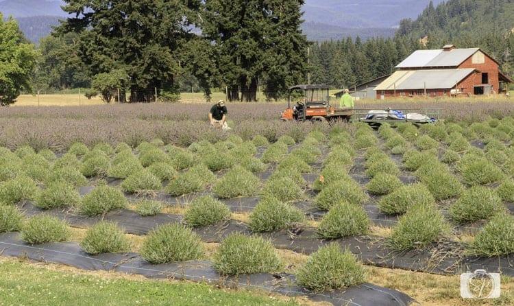 harvesting at lavander valley