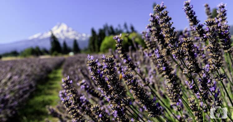 lavander valley blur