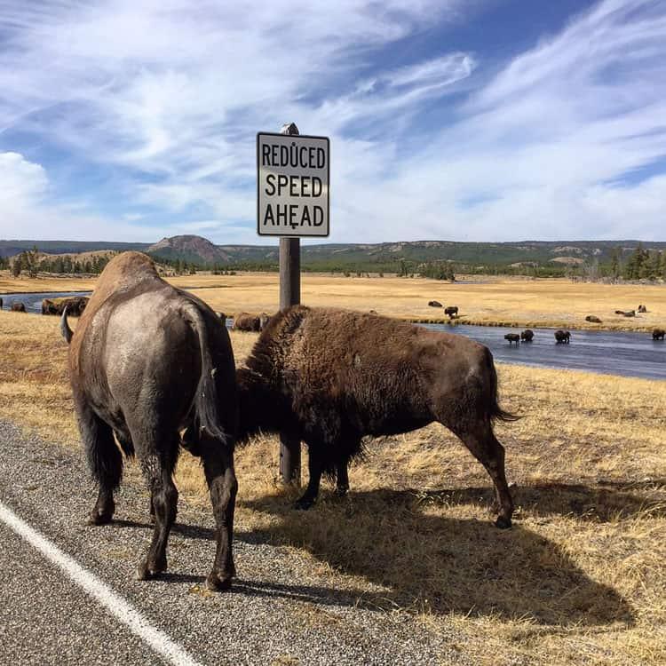 bison-scratching-post