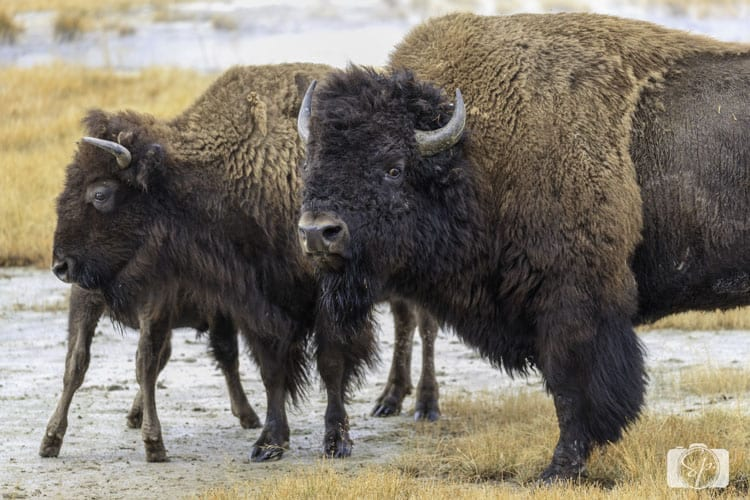 bison-family-yellowstone national park