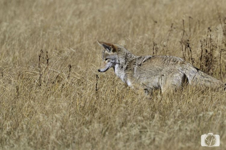 yellowstone-national park coyote