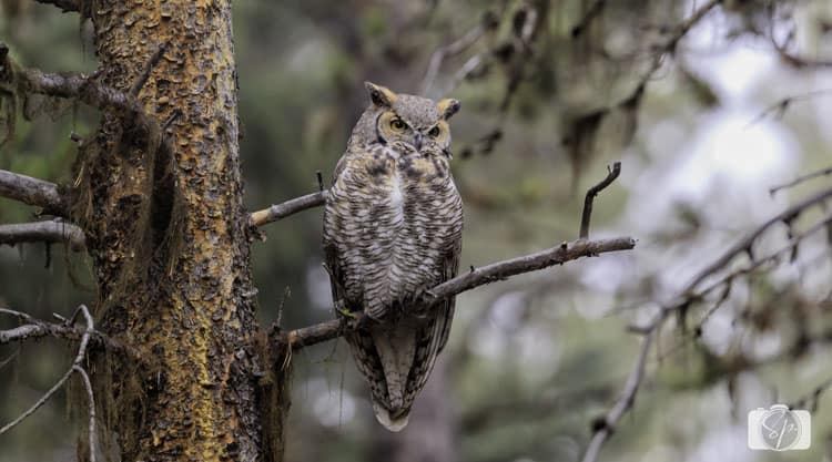 yellowstone national park great horned owl