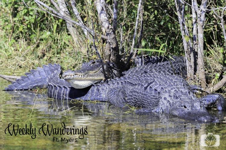 florida-alligators